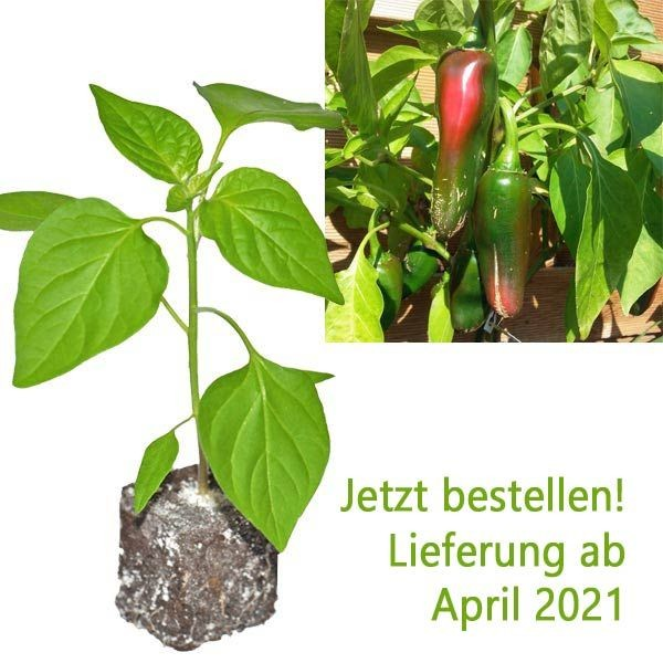 BIO Jalapeno Big Chili-Pflanze