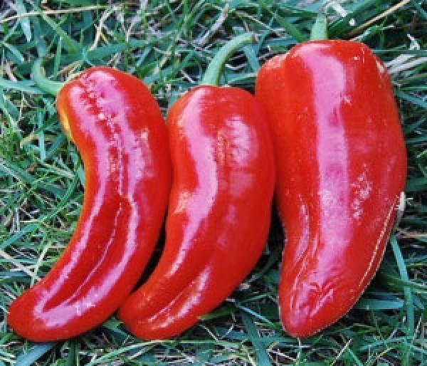 Marconi Red Chili Samen