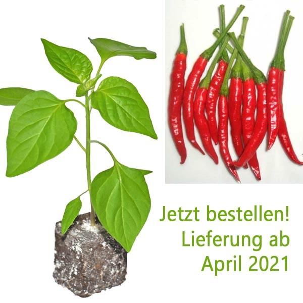 BIO Chie Chien Chili-Pflanze