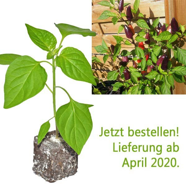 BIO Starfire Purple Chili-Pflanze