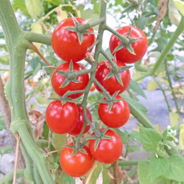 Schlossgarten Cherry Tomaten Samen