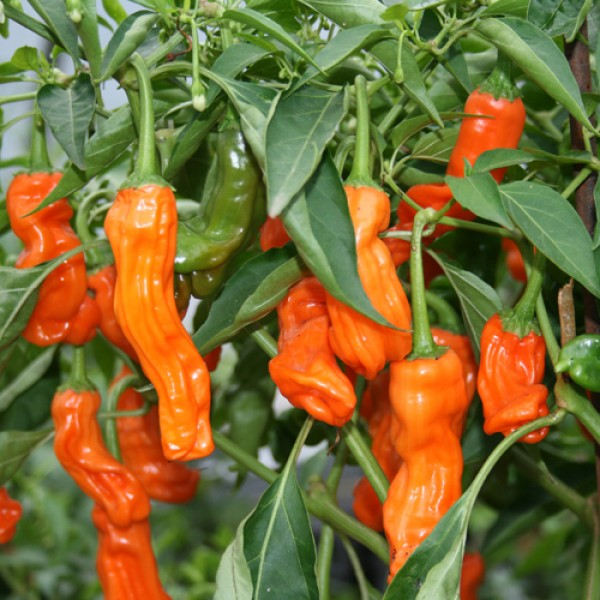 Peter Pepper Orange Chili Samen