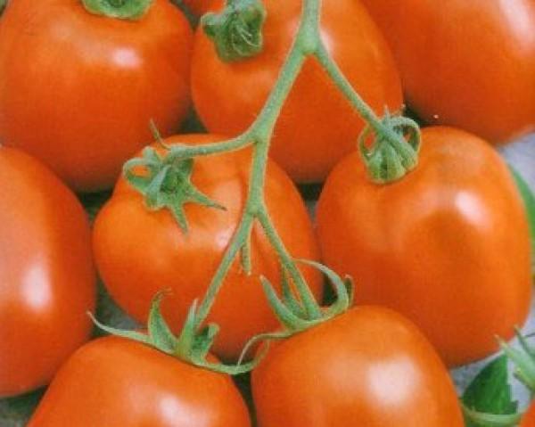 Zömök Tomaten Samen