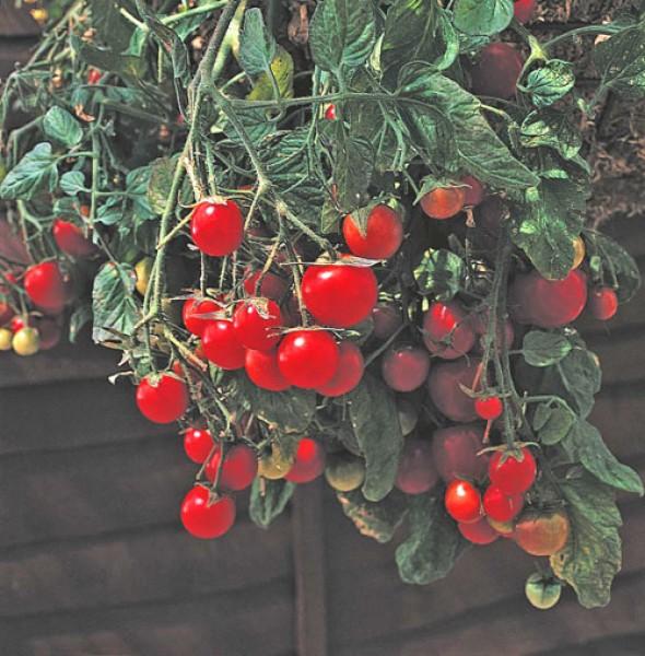 gartenperle tomaten samen. Black Bedroom Furniture Sets. Home Design Ideas