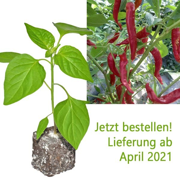 BIO Aci Biber Medium Chili-Pflanze