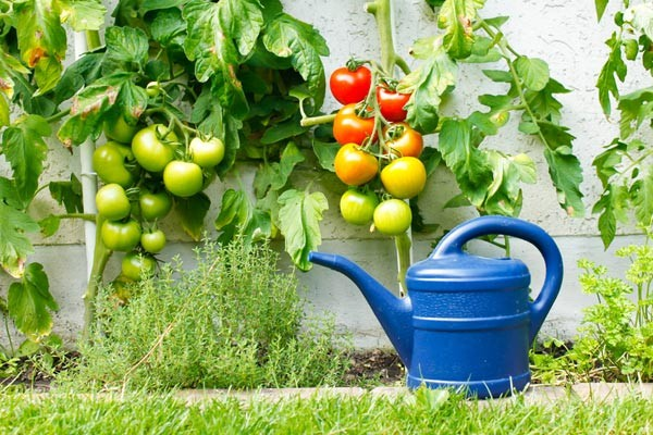 Tomaten Pflegetipps