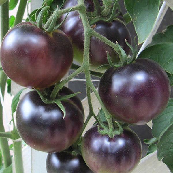 Black Cherry Tomaten Samen