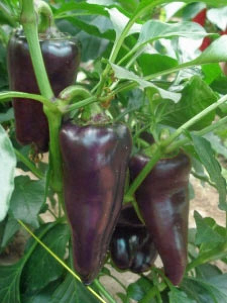 Marconi Purple Chili Samen