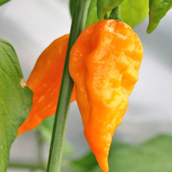 Naga Morich Yellow Chili Samen