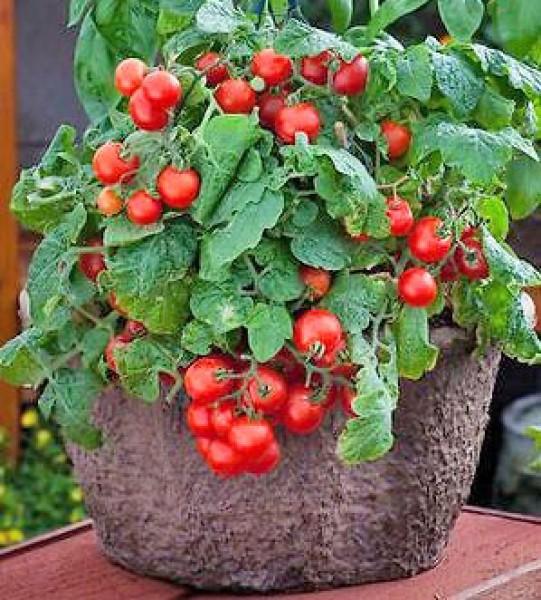 Red Robin Tomaten Samen