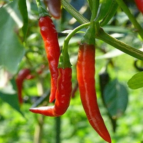De Arbol Chili Samen