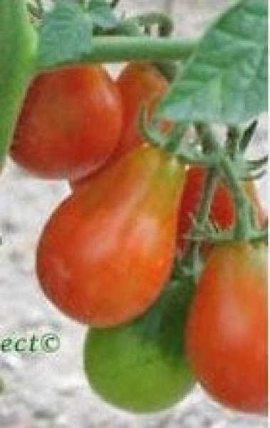 Red Pear Cherry Bell Tomaten Samen B-Ware