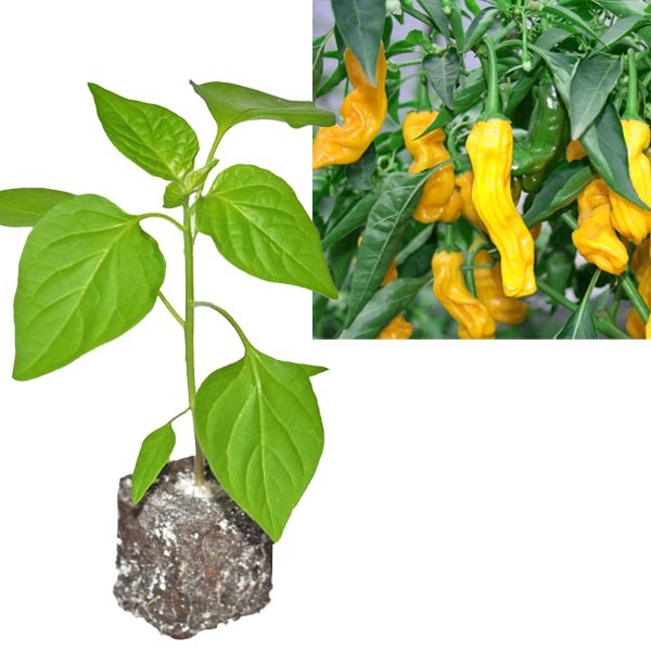 BIO Penis Pepper Yellow Chili-Pflanze