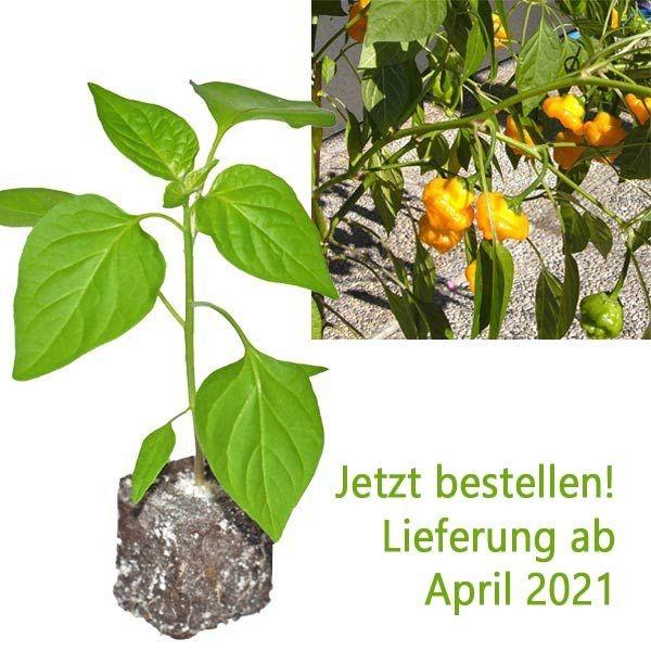 BIO Scotch Bonnet Yellow Chili-Pflanze