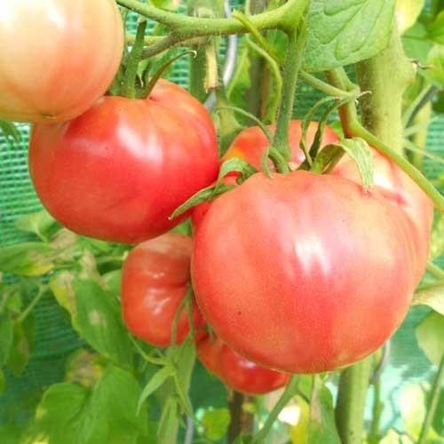 Olena Ukrainian Tomaten Samen