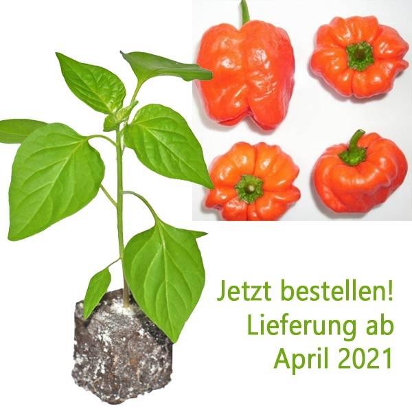 BIO Hot Apple Chili-Pflanze