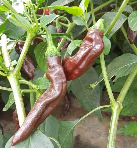 Ethiopian Brown Chili Samen