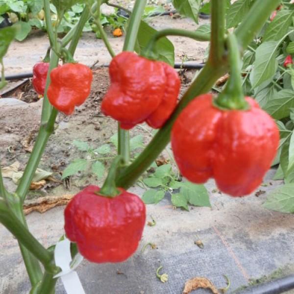Infinity Chili Samen