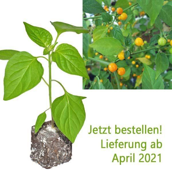 BIO Aji Charapita Yellow Chili-Pflanze