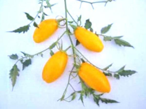 Gold Roma Tomaten Samen