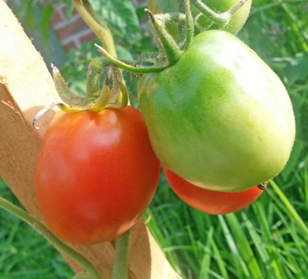 Ukrainian Purple Tomaten Samen