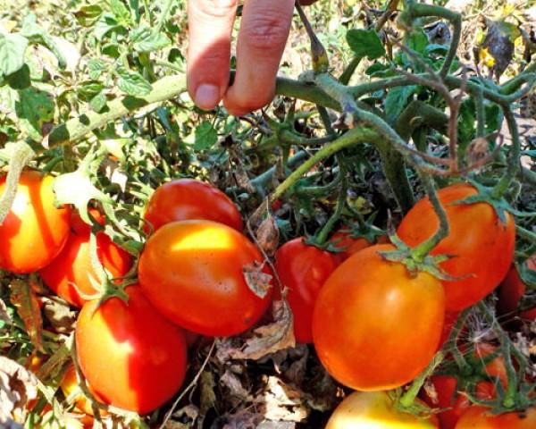 Kecskemeti Tomaten Samen