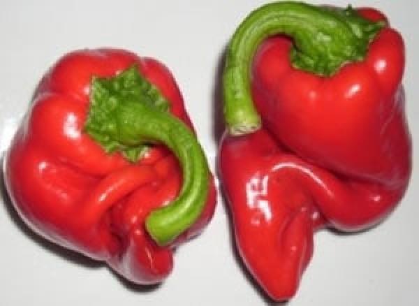 Cornetto Chili Samen B-Ware