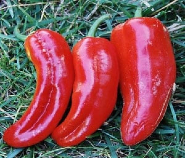 Marconi Red Chili Samen B-Ware