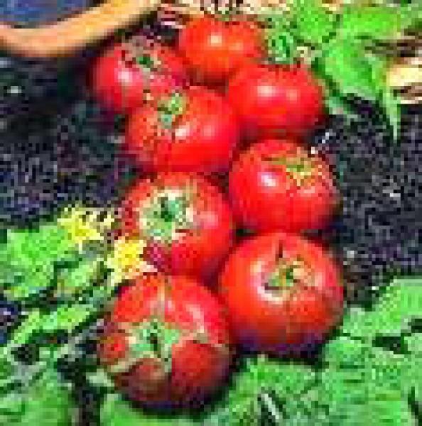 harbinger tomaten samen bestellen chili. Black Bedroom Furniture Sets. Home Design Ideas