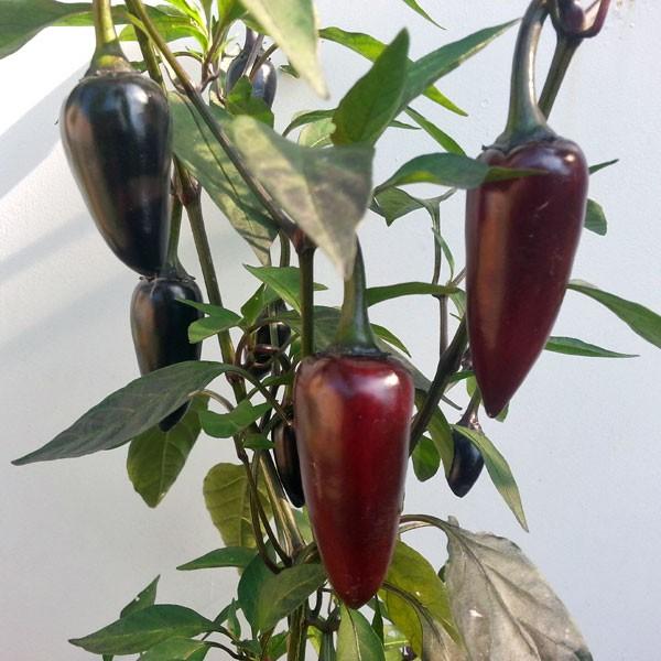 jalapeno purple chili samen online bestellen chili. Black Bedroom Furniture Sets. Home Design Ideas