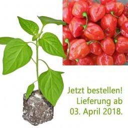BIO Habanero rot Chili-Pflanze