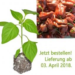 BIO Habanero Chocolate Chili-Pflanze